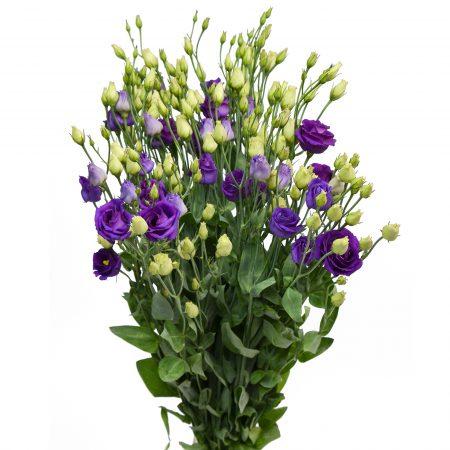 lisianthus purple