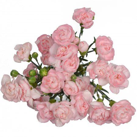 mini carnation light pink