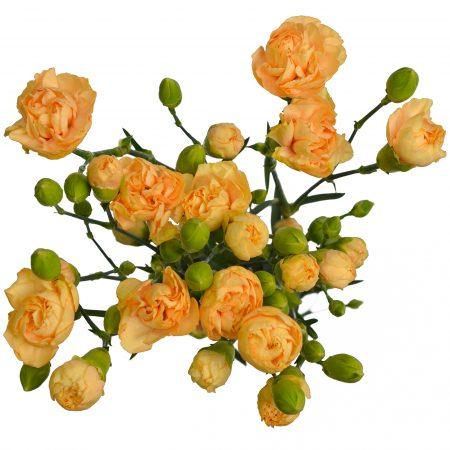 mini carnation kamilly