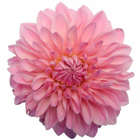 dahlia bargallay blush