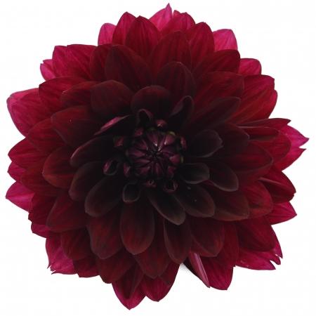 dahlia hollyhill black widow