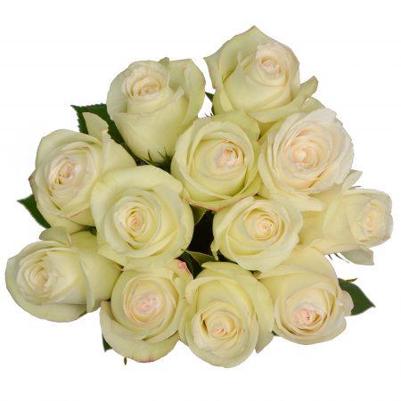 rose alba