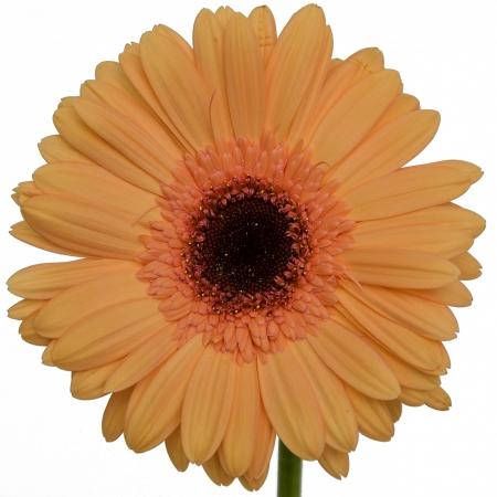 gerbera daisy alma