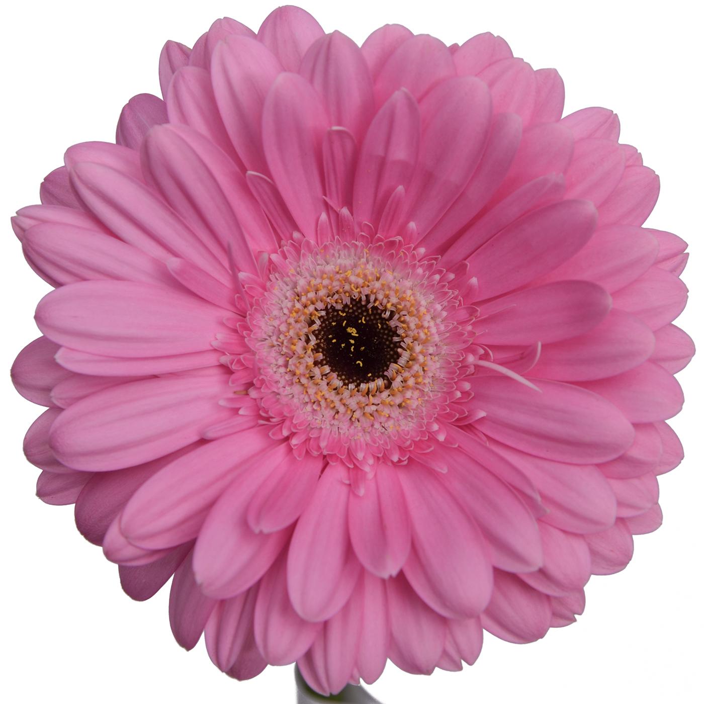 Gerbera Daisy Pink Dark Center Pick Up Flower Catalog