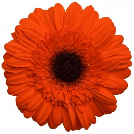 gerbera daisy prestige