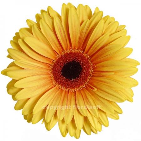 gerbera daisy acapulco
