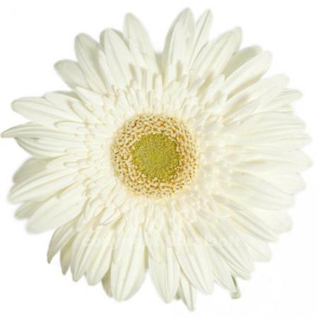 gerbera daisy balance