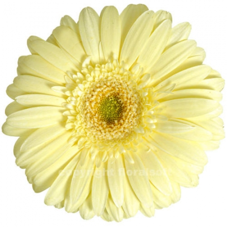 gerbera daisy enjoy