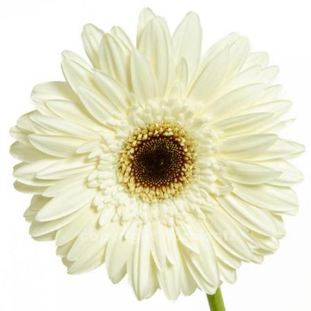 gerbera daisy kilmanjaro