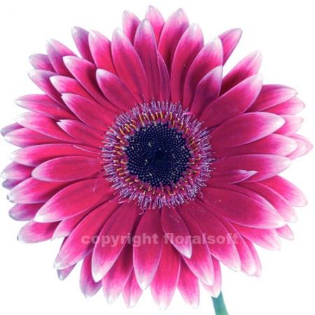 gerbera daisy nuance