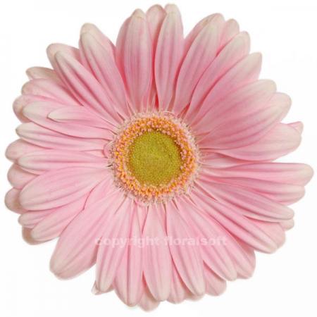 gerbera daisy plot