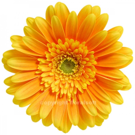 gerbera daisy souvenir