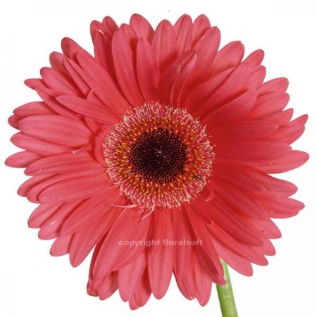gerbera daisy yucatan