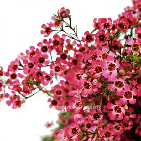 waxflower pink california