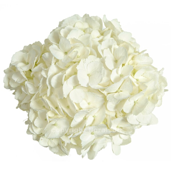Stems market fresh cut flowers for everyday and events white hydrangea hydnatwht mightylinksfo